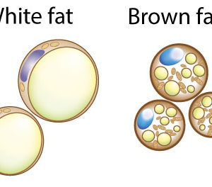 2page_img0_en white fat brown fat cells